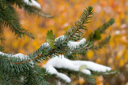 Christmas tree on bright background. Bright colors of autumn nature covers the first snow Stock Photo