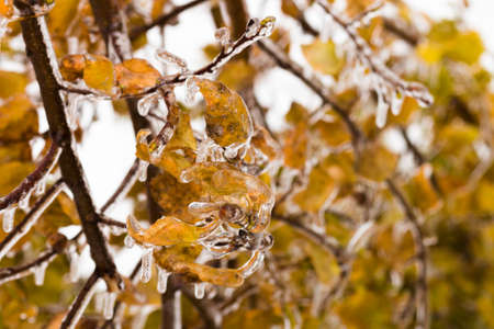Tree branch with multi-colored leaves covered with ice. Freezing rain picturesquely frozen trees. November. The arrival of winter. Russia.
