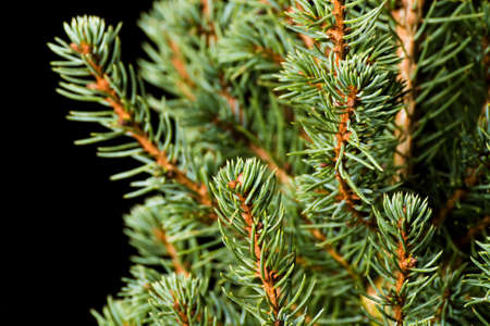 Christmas Tree. Pine tree closeup. Fir tree branches macro. Canadian blue spruce. Stock Photo