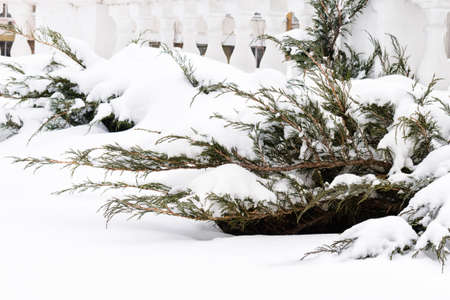 sheeted: Russian winter. Green juniper sprout under snow, white background. Russian manor. Stock Photo