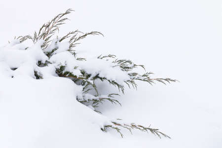 sheeted: Russian winter. Green juniper sprout under snow, white background. Stock Photo