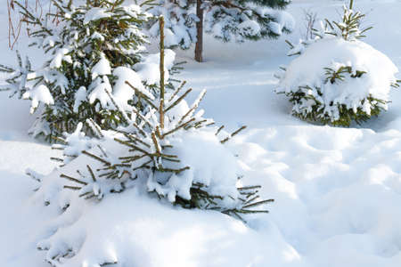 sheeted: Russian winter. Small Christmas tree covered with snow, white background. Russian nature. Scenic view of the winter snow-covered forest. Winter landscape in the forest at sunset.