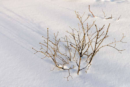 sheeted: Russian winter. Dry branches covered with snow., white background. Russian nature. Scenic view of the winter snow-covered forest. Winter landscape in the forest at sunset.