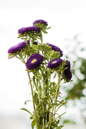 Fresh young aster flowers in a glass vase on a windowsill. Purple small asters. Flowers in the interior. Purple asters in a vase on a windowsill. Stock Photo