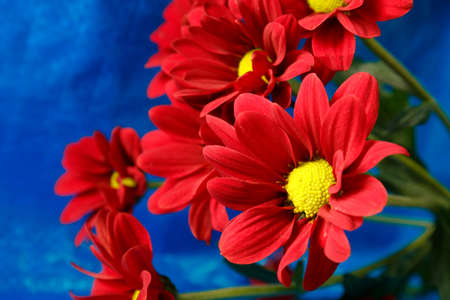 Red chrysanthemum on a blue background bouquet of red flowers red chrysanthemum on a blue background bouquet of red flowers with a yellow center on mightylinksfo
