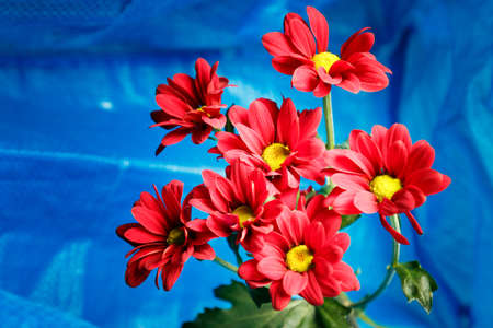 Red chrysanthemum on a blue background. Bouquet of red flowers with a yellow center on a blue background.