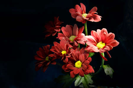 Red chrysanthemum on a black background.. Bouquet of red flowers with a yellow center on a black background..