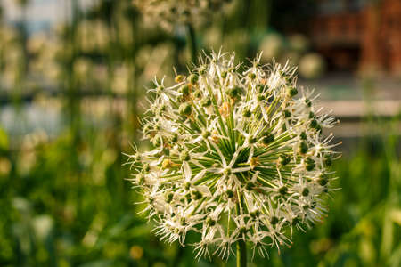 White-green ball of a decorative flower. A flower in the shape of a sphere on a green background. Beautiful White Allium circular globe shaped flowers blow in the wind. Moscow. Decorative garlic. Stock Photo
