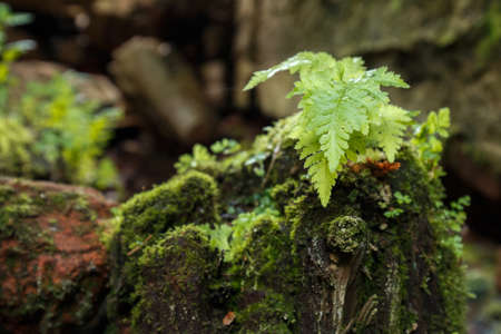 Young fern bush on a stump covered with moss. Old rotten wooden stump with moss in the forest. Summer season. Old rotten stump covered with moss in brick ruins