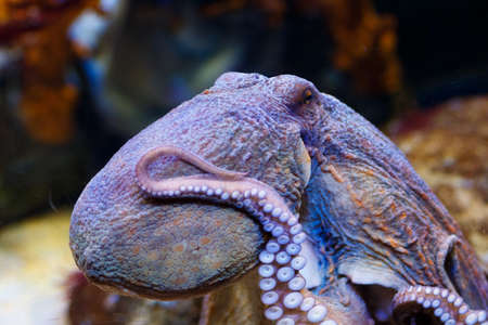 Octopus in a marine aquarium. Common octopus. Wildlife animal. Octopus among corals. Very beautiful young octopus in blue sea water.