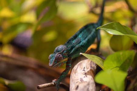 Little cute chameleon on a tree branch. Attentive chameleon sneaks on the branch. Turquoise red chameleon.