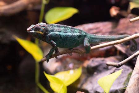 Little cute chameleon on a tree branch. Attentive chameleon sneaks on the branch. Turquoise red chameleon. Standard-Bild