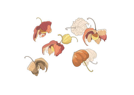 Physalis set. Physalis graphic illustration isolated on white background. Vector drawing of Physalis. Berry fruit enclosed in a shell similar to a Chinese paper lantern.