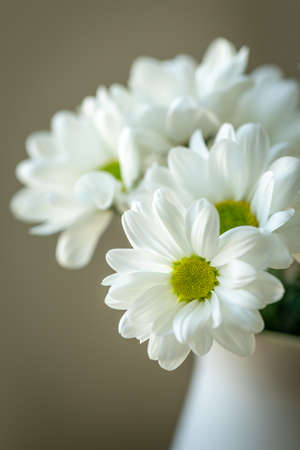 Closeup of white chrysanthemum.. Picturesque flower spray chrysanthemum. Opened chrysanthemum bud. Flower with yellow-green center with white petals. Chrysanthemum like a daisy. Floral natural background.
