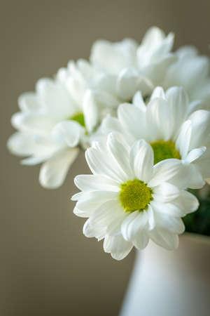 Nahaufnahme der weißen Chrysantheme... Malerische Blume Spray Chrysantheme. Geöffnete Chrysanthemenknospe. Blüte mit gelbgrüner Mitte mit weißen Blütenblättern. Chrysantheme wie ein Gänseblümchen. Natürlicher mit Blumenhintergrund.