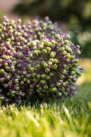 Alliums. Spherical flowering onions. Blooming garden plant. Ornamental Garden Plants Фото со стока
