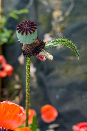 Poppy flower. Close up of red poppy flowers in a field. Bud of flowering poppy Stock Photo