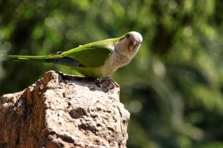 quaker: Green bird perched on a wall Stock Photo