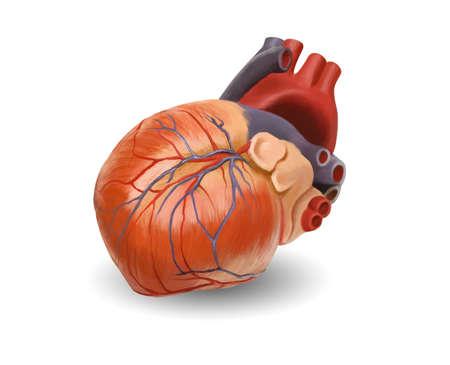 partes del cuerpo humano: Anatom�a del coraz�n humano. Pintado de ilustraci�n a mano original