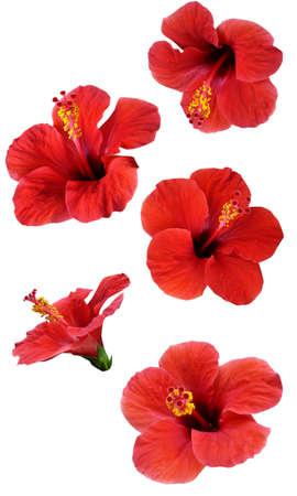 ibiscus: fiori isolati su bianco. Impostare illustrazione colorata. Archivio Fotografico