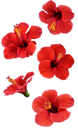 hibiscus flowers: flowers isolated on white. Set colorful illustration.