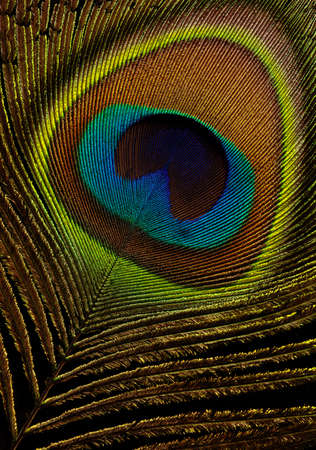 pluma de pavo real: Plumas de pavo real sobre fondo negro macros close-up