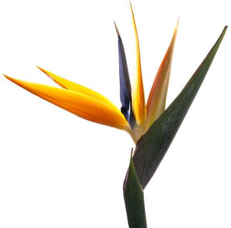 bloom bird of paradise: Bird of Paradise Flower on White Background