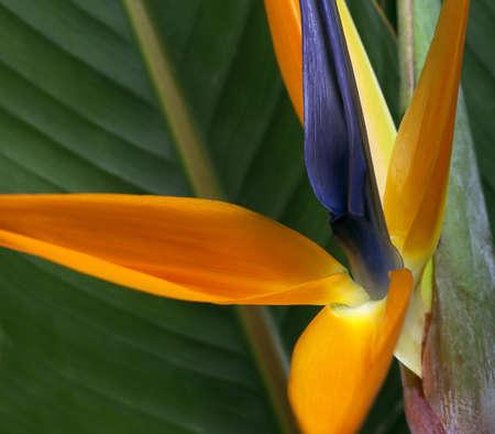 ave del paraiso: Ave del Paraíso Flor de fondo