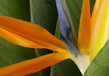 bird of paradise  flower: Bird of Paradise Flower background