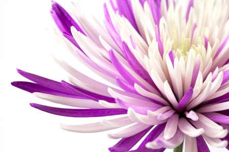 Purple chrysanthemum  Wedding holiday card  Isolated on white background