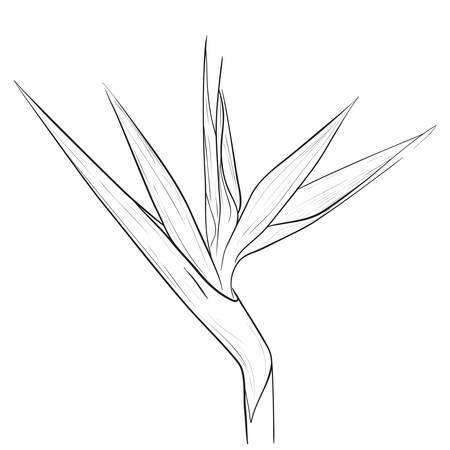 ave del paraiso: Flor del pájaro de paraíso en estilo del bosquejo