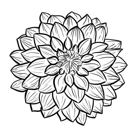 aster: Aster flower icon. Vector line style