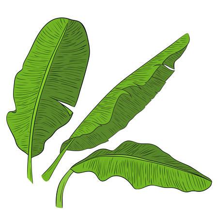 Banane feuilles vertes . vector illustration. élément de conception Banque d'images - 82349786