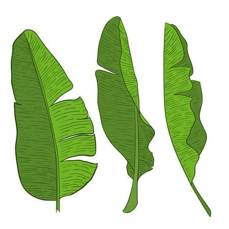 Banana green leaves Vector illustration