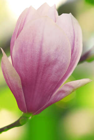 blooming magnolia bud in april photo