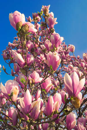 blooming magnolia tree in april isolated on blue sky background  photo