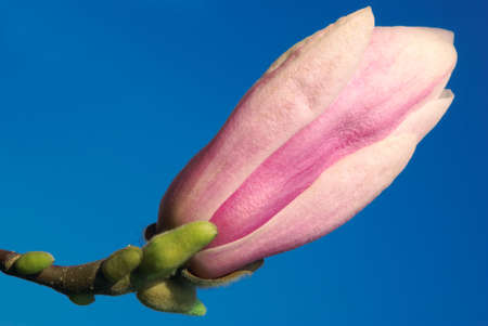 magnolia bud isolated against blue sky background photo
