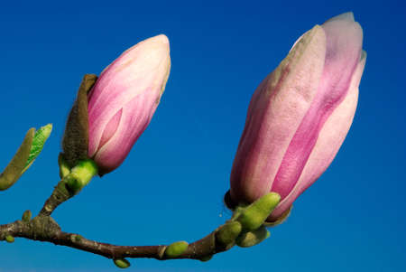 magnolia twig with buds isolated against blue sky background photo