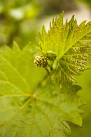 Raw grapes and green leaves in spring photo