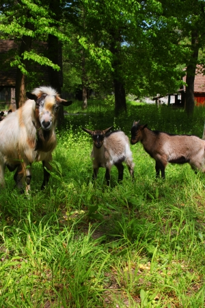 he goat: He-goat and young goats on the meadow Stock Photo