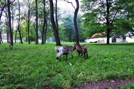 he goat: Two young domestic white goats fighting in a farm and a fire in background