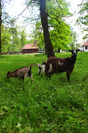 he goat: Mother goat and her little goats on the meadow and a house in background