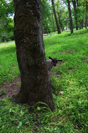 he goat: Little goat playing hide and seek  Hiding under a tree
