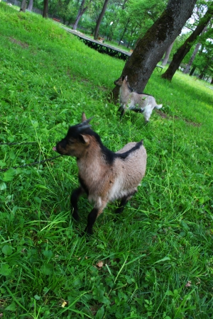 he goat: Two young domestic goats on the meadow