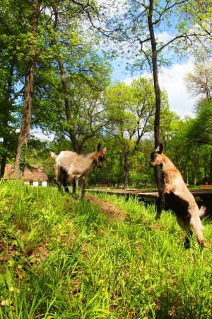 Two young domestic brown goats fighting in a farm and a house in background photo