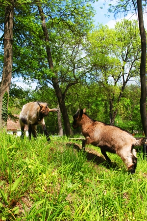 he goat: Two young domestic white goats fighting in a farm