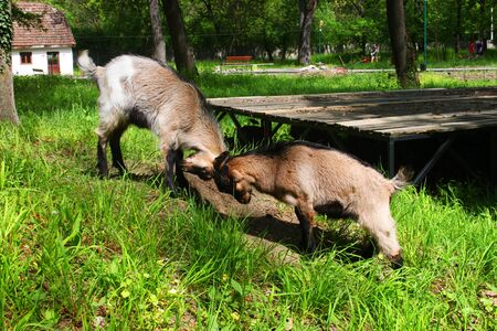 Two young domestic white goats fighting in a farm photo
