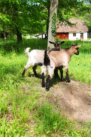 he goat: Two  brown young domestic goats on the meadow Stock Photo