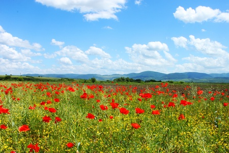 Field with green grass, yellow flowers and red poppies against the blue sky photo