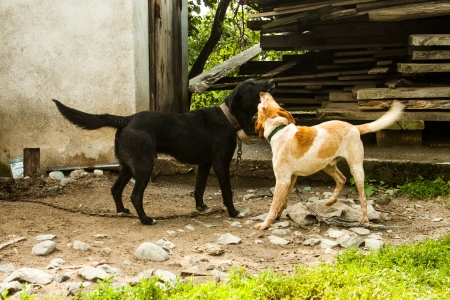Two dogs playing in a country farm  Dog on a chain photo